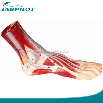 Fuß Anatomie Modell,Plantar Dissektion Modell,Anatomischen Fuß ...