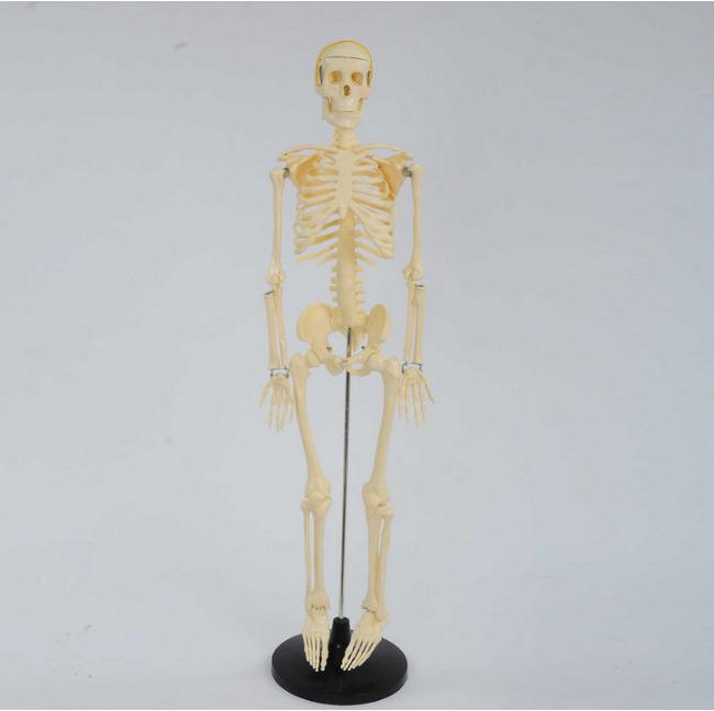 Kerangkakemasan: Tubuh Manusia Model 85 Cm Model Skeleton Manusia
