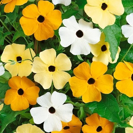 Get Quotations Black Eyed Susan Seeds Vine Mix Packet Summer And Fall Orange Blooms