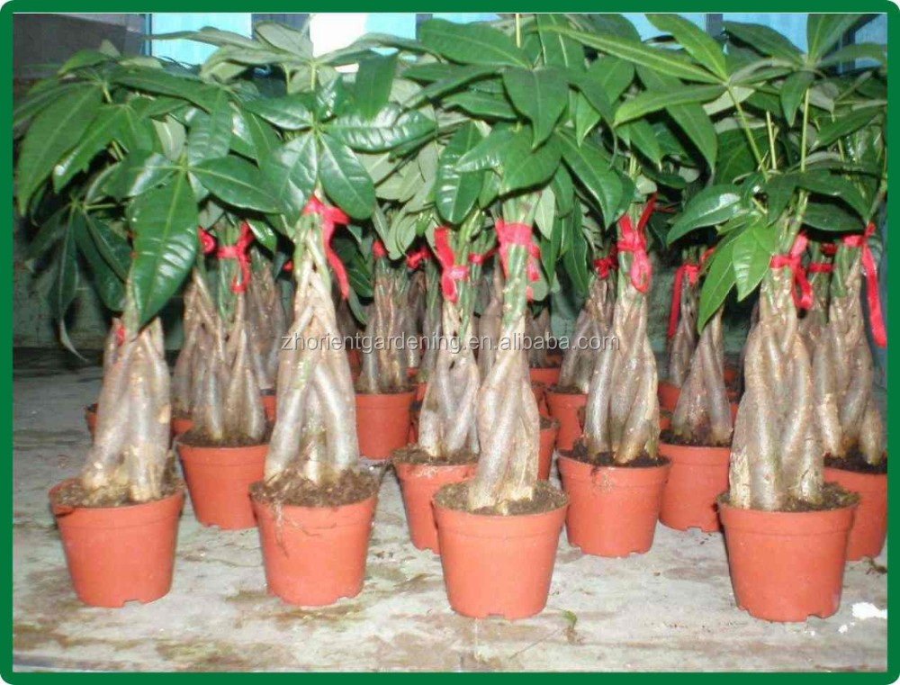 5 geflochtene pachira macrocarpa aquatica bonsai indoor ornamental dekorative topfpflanzen kindergarten