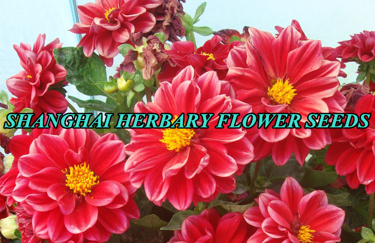 2019 Newest flowers seeds for sale, Garden flower seeds, dahlia seeds
