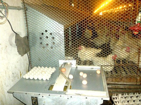 Goldenest breeder layer automatic egg nest chicken nest box automatic egg collecting machine JCJ15-A02