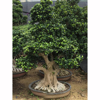 Beautiful Root Ficus bonsai tree H1.5m