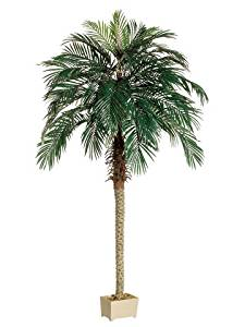 7' Phoenix Palm Tree in Rectangular Plastic Pot Green