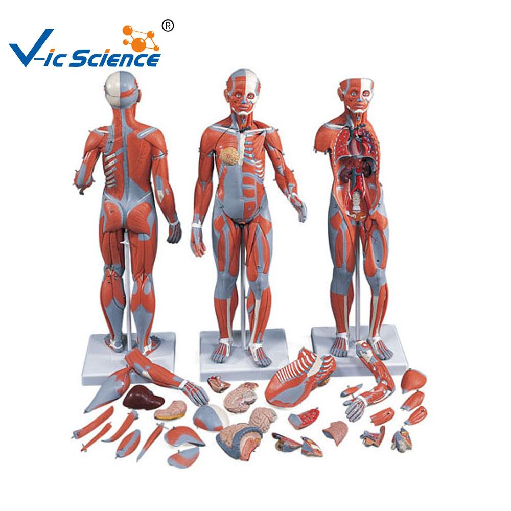 Human Muscle Anatomy Model Wholesale, Anatomy Model Suppliers - Alibaba