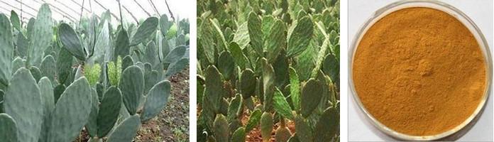 Hot Sale Cactus Hoodia Gordonii Extract Hoodia Gordonii Cactus