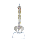 Full Size Durable Human Spine Model