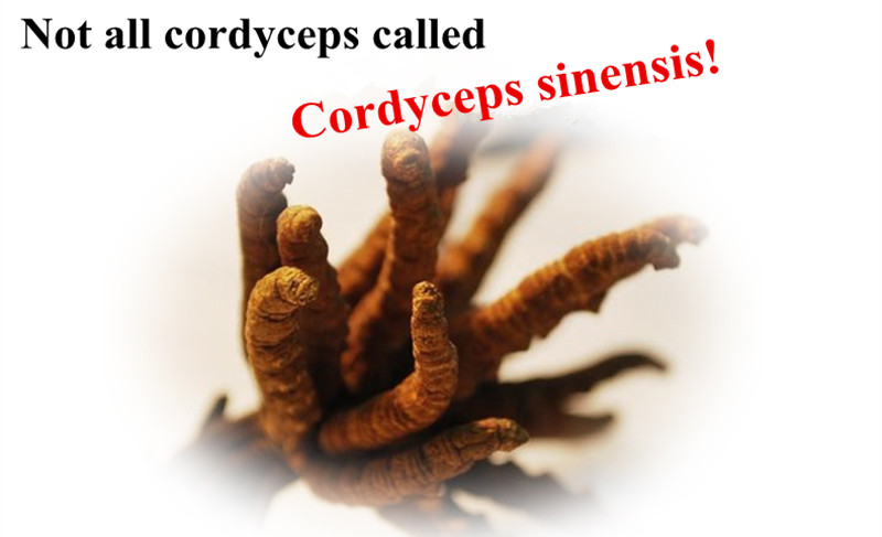 2016 New Products Health Food Kidney Remedy cordyceps-lingzhi extract gold
