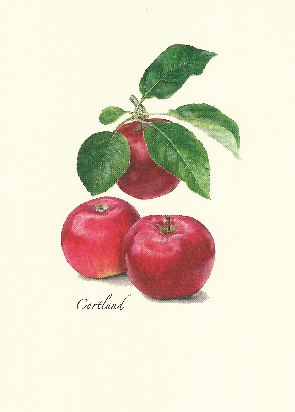Steven M. Lewers Heirloom Apple Assortment Boxed Note Cards-- Set of 8