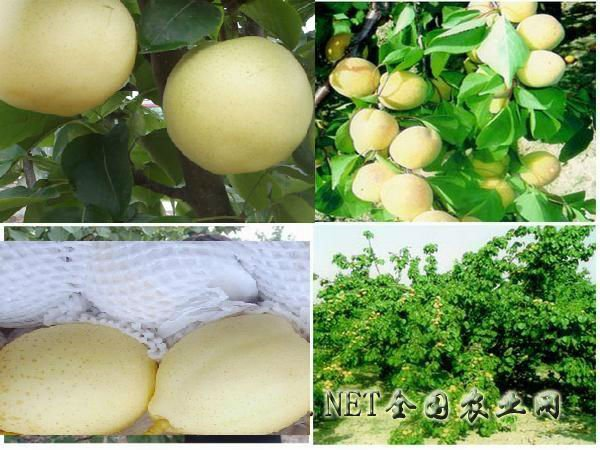 2011 new crop sweet and crisp China ya pear