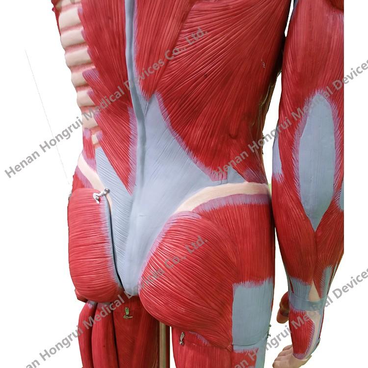 Alta Calidad Modelo Torso Anatomía Humana Y Músculo Humano Modelo ...