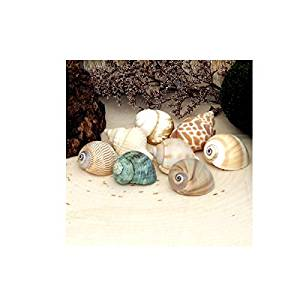 8 Seashells Mixed Sizes All Natural - Use For Nautical Decor, Craft Shells, as Vase Fillers, in Bouquets And Floral Arrangements, in Aquariums, Wet Or Dry, as Hermit Crab Growth Shells HCSA39