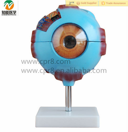 6 times Enlarged Plastic Human Anatomical Eye Model