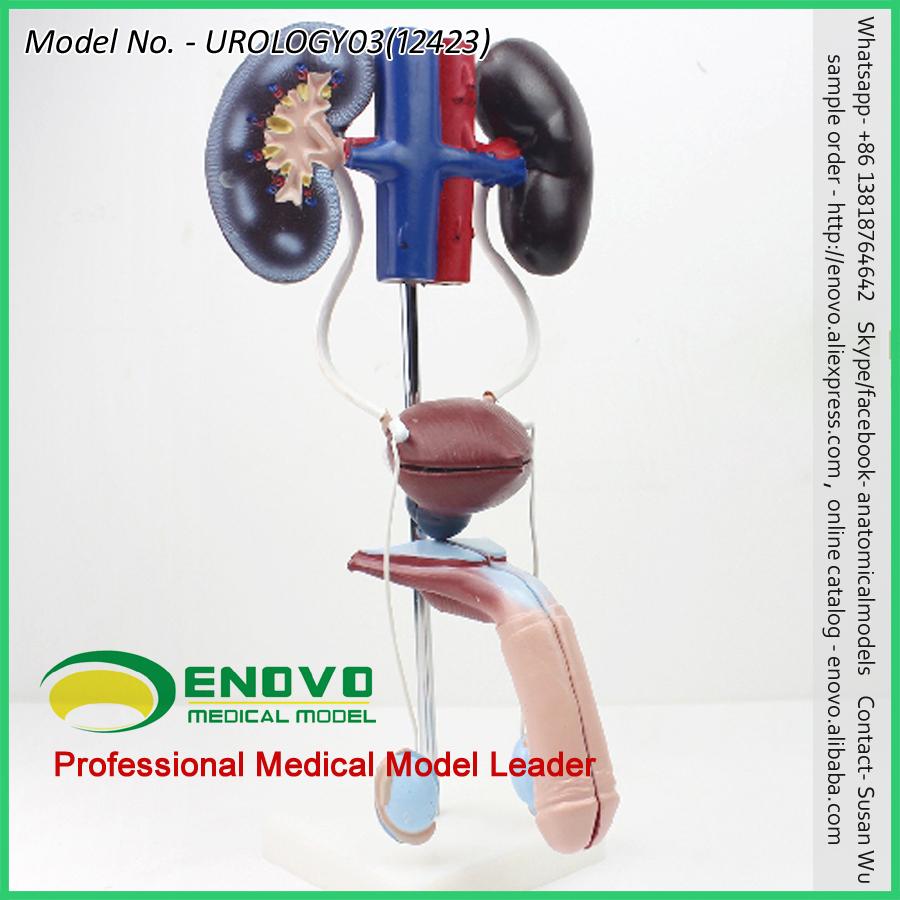 Venta 12423 sistema urogenital masculino, de pie modelo del sistema ...