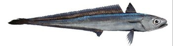 New Zealand Hoki - Buy New Zealand,Hoki Fish,New Zealand