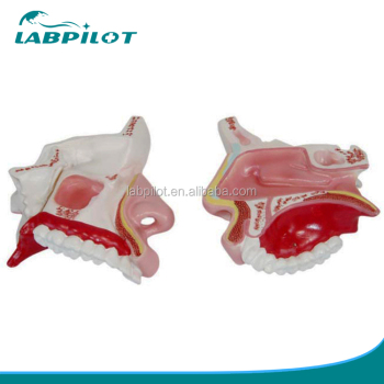 Economic Anatomical Nasal Cavity Model,External Nose Anatomy Model ...