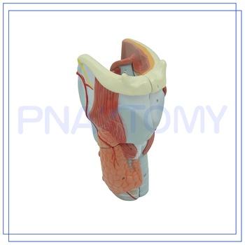 Pnt-0440 Human Anatomy Throat Model Larynx Model - Buy Anatomy Model ...