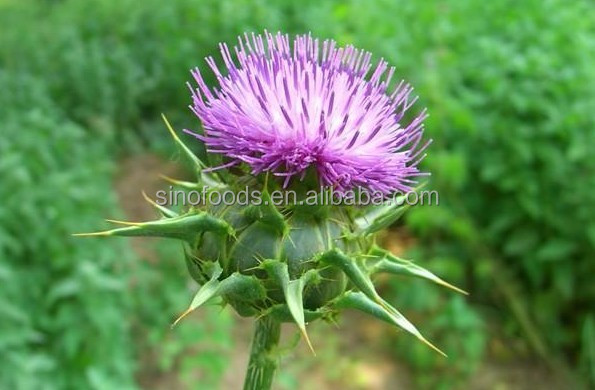 Shui Fei Ji Zi Hot sale 100% natural Dried Milk Thistle Seeds