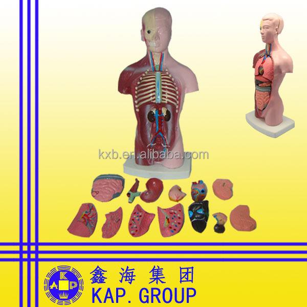 Teile Des Menschlichen Körpers Medizinischen Anatomischen ...