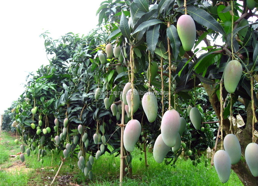 Tropical Fruit Mango Fruit Seed For Growing Buy Mango Seeds For
