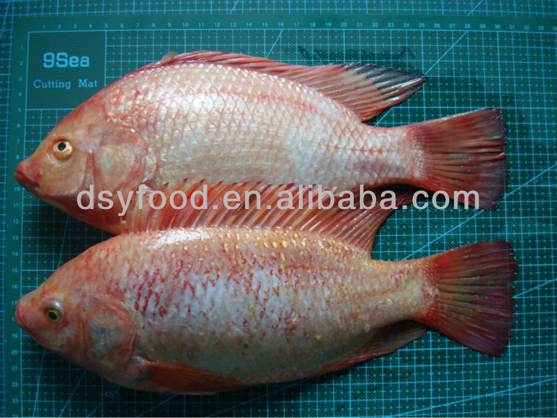 Top Quality Fresh Water Fish Frozen Red Tilapia Farming