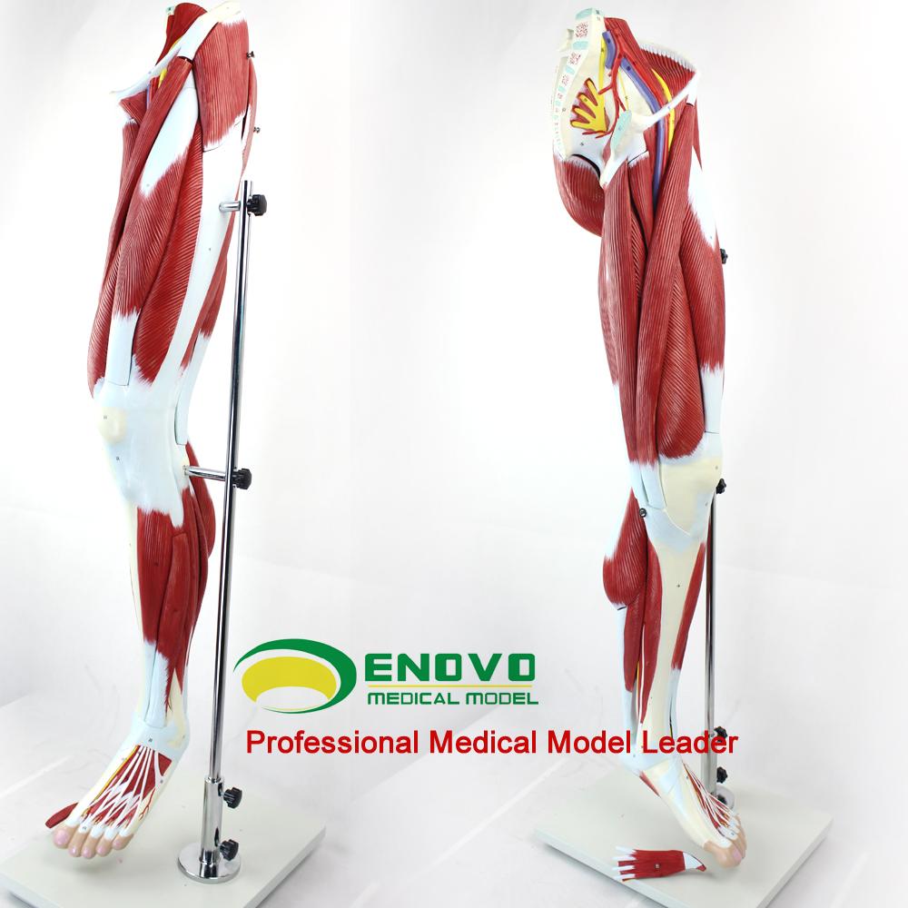Venta al por mayor maqueta de los musculos de la pierna-Compre ...