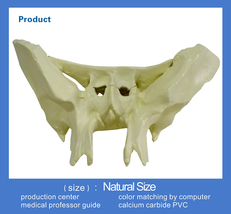 direct factory medical model sphenoid bone model - buy sphenoid, Human body
