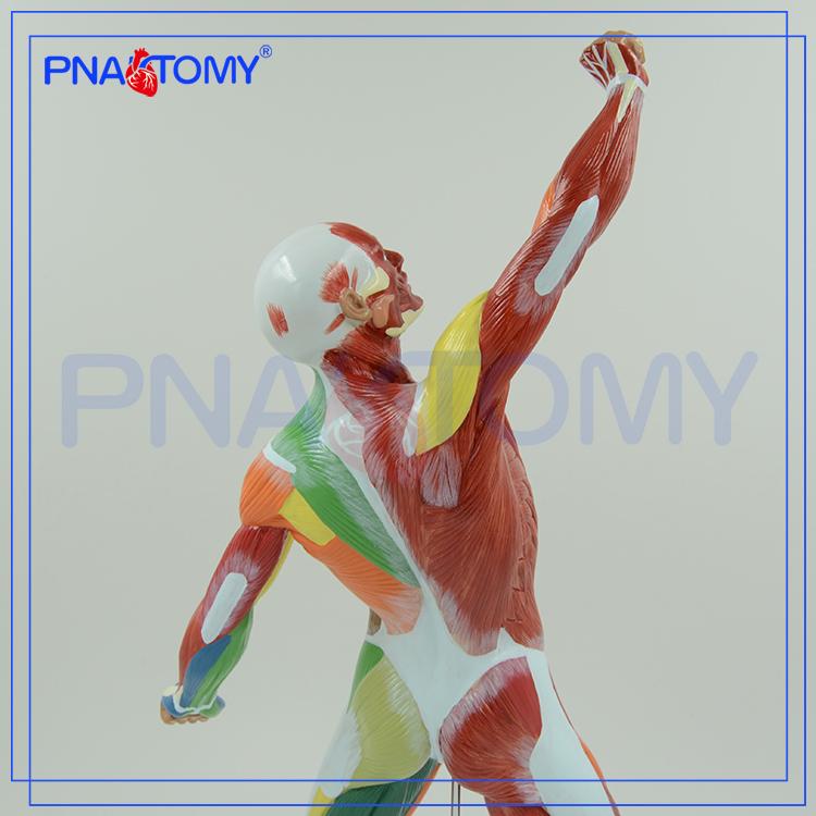 Pnt-0342 Farbige Menschlichen Körper Oberflächliche Muskeln Anatomie ...