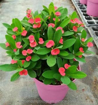 Euphorbia Milii Christ Thorn Bonsai Plants Buy Euphorbia Milii