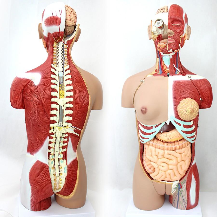 Torso05 (12016) Ciencia Médica 85 Cm 29 Piezas Humano Tamaño ...