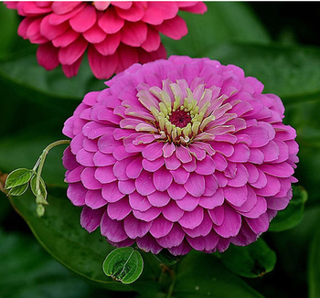 Red rose white yellow color f1 hybrid zinnia seeds for growing buy red rose white yellow color f1 hybrid zinnia seeds for growing mightylinksfo