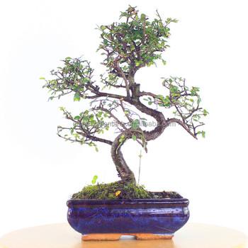 Zelkova Parvifolia,Ulmus,Elm,Mini Bonsai 15cm S Shape,Bonsai Trees ...