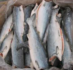 Wild alaskan king salmon flash frozen at sea buy alaska for Flash freeze fish
