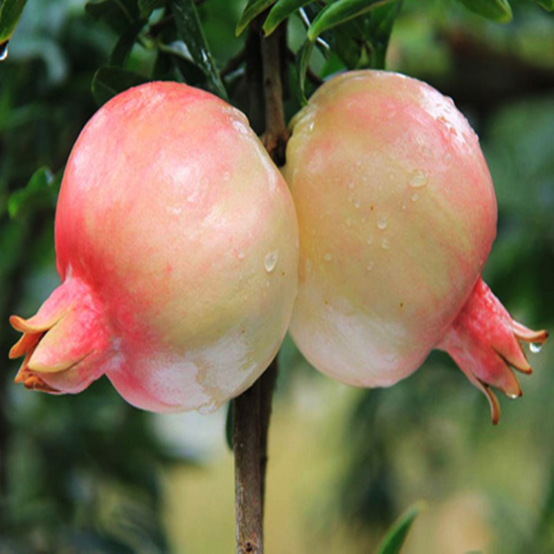 Promotional fresh indian pomegranate of CE Standard