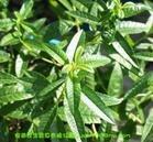 100% Natural Herba Verbenae Extract
