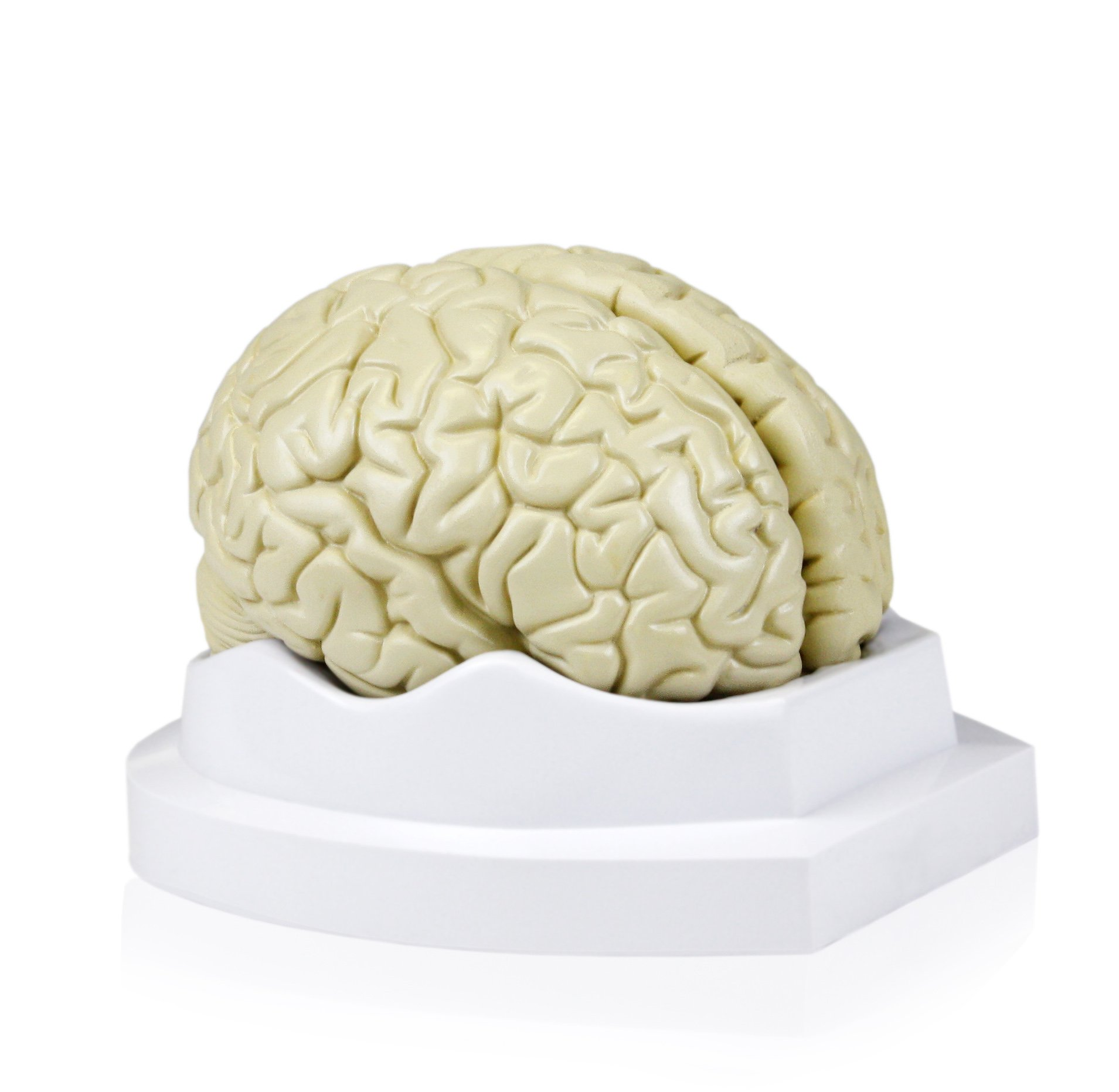 Cheap Size Human Brain, find Size Human Brain deals on line at ...