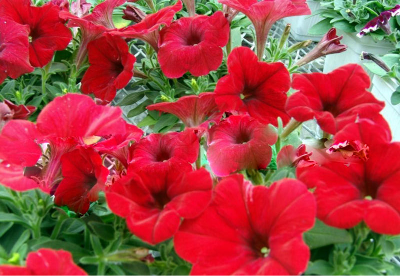 wave petunia seed for planting