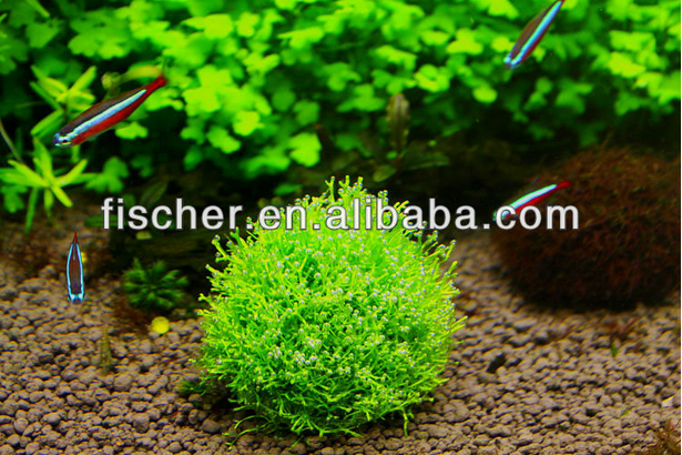 live aquarium plant marimo moss ballscladophora moss