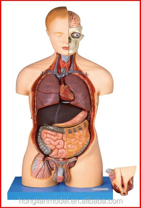 Moderno Cuerpo Modelo De Anatomía Viñeta - Anatomía de Las ...