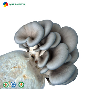High Yield Mushroom bags oyster mushroom grain spawn for wholesales