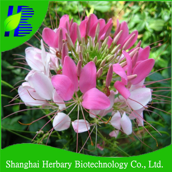 Hot sale Spiny Spiderflower Seeds