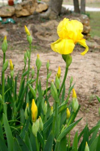 Get Quotations 1 Yellow Bearded Irises Bare Root Rhizomes Iris Bulbs Flowering Bulb Plants