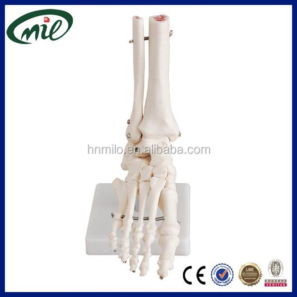 Finden Sie Hohe Qualität Fuß-modell Hersteller und Fuß-modell auf ...