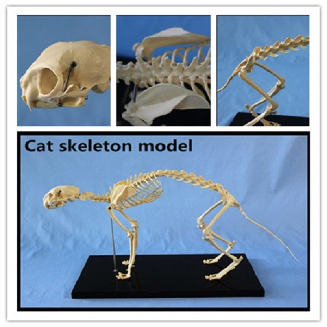Animal Biology Teaching Cat Skeleton Anatomy Model3d Animal Anatomy