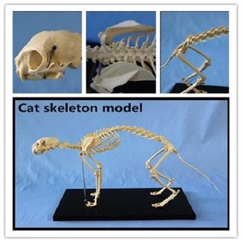 Animal Biology Teaching Cat Skeleton Anatomy Model3d Animal Anatomy