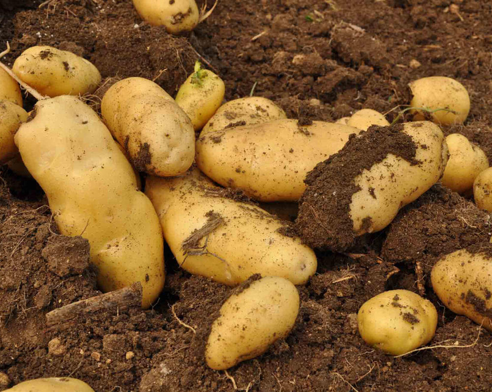 fresh potato farm/fresh potato importers in dubai