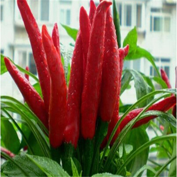 Best sale chilli hot <strong>pepper</strong> <strong>seeds</strong> / spices <strong>pepper</strong> <strong>seed</strong>