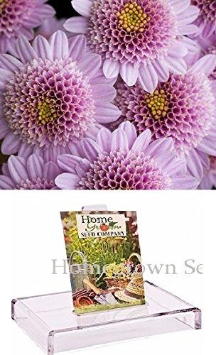 Homegrown Packet Chrysanthemum Seeds, 135 Seeds, Pink Chrysanthemum Mum
