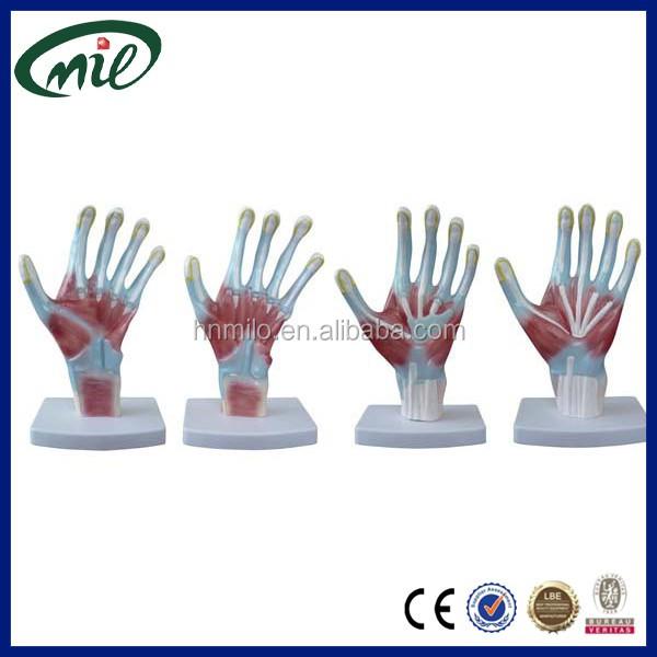 Human Handpalm Structure Anatomical Modelmedical Skeleton Anatomy
