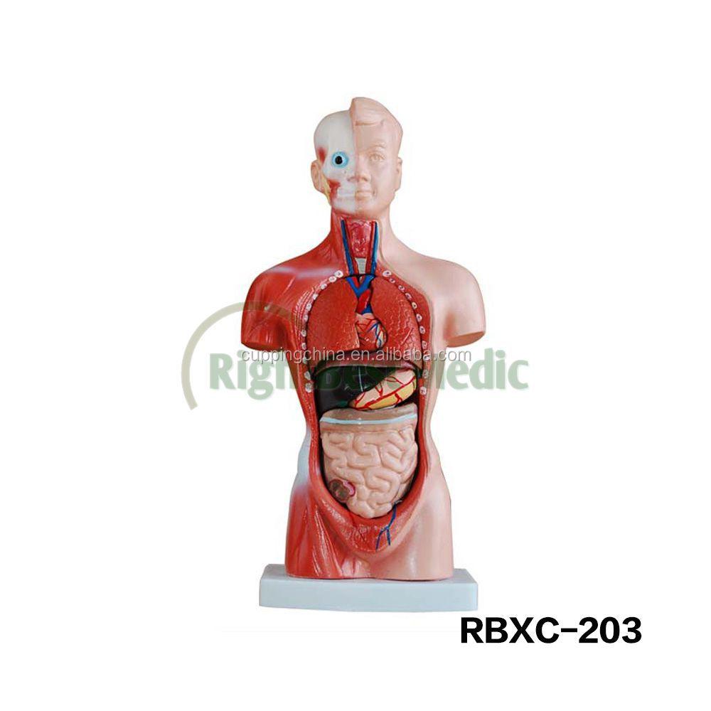 Vind de beste torso biologie fabricaten en torso biologie voor de ...